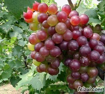 杜集大庄葡萄