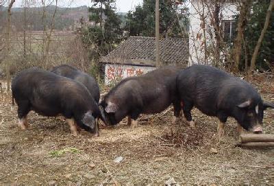 金寨黑毛猪