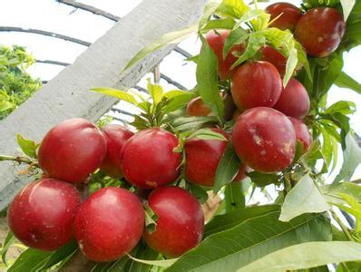 砀山大棚油桃