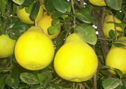下都沙田柚
