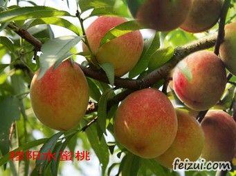 穆阳水蜜桃