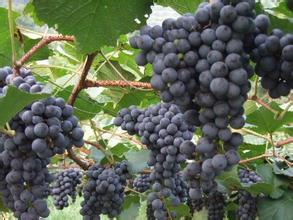 福安刺葡萄