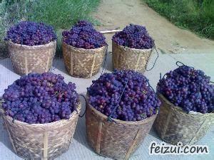 福安巨峰葡萄
