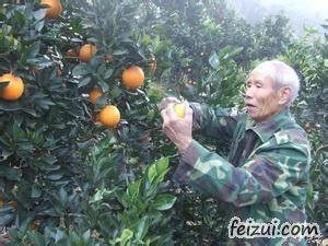 三元炉洋脐橙