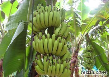 芗城天宝香蕉