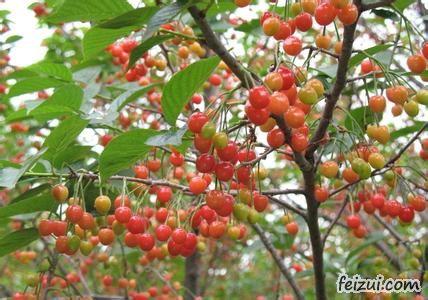 秦州大樱桃