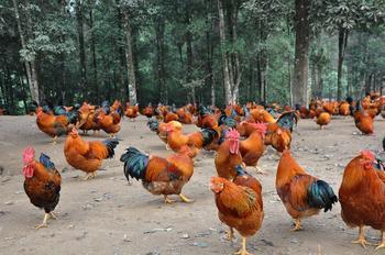 宁明八角香鸡