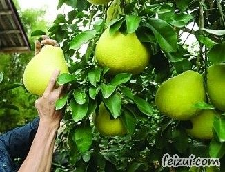 恭城沙田柚