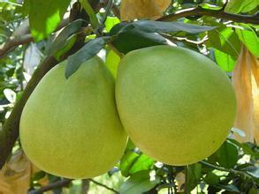 宜州沙田柚