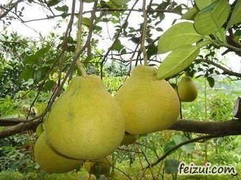 昭平沙田柚