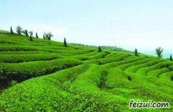 圣堂山野生茶