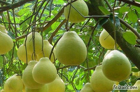 融水糯米柚