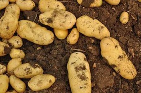 修文马铃薯