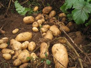 黄平马铃薯