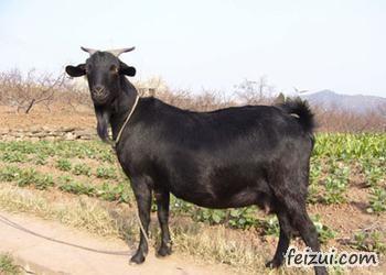 望谟黑山羊