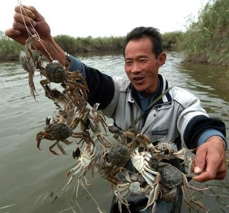 白洋淀河蟹
