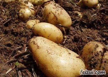 围场马铃薯