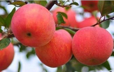 枣强红富士苹果