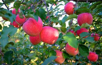 武邑红富士苹果