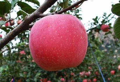 深泽红富士苹果