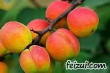 巨鹿串枝红杏
