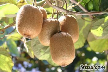 西峡猕猴桃
