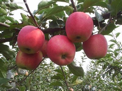 虞城红富士苹果