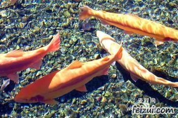 宁安虹鳟鱼