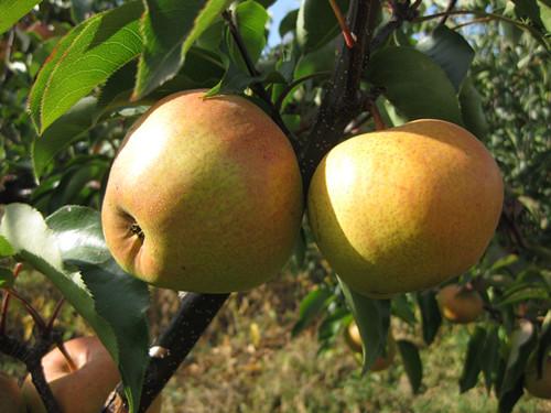 东宁苹果梨