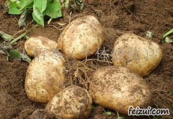 讷河马铃薯