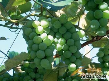 建始关口葡萄