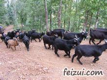 麻城黑山羊
