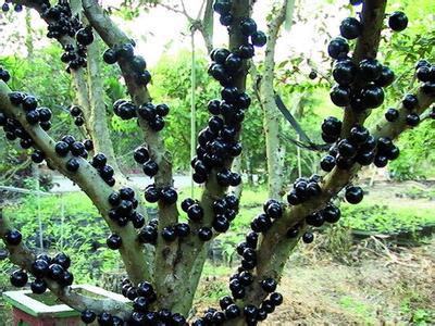 崇阳树葡萄