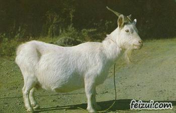 宜昌白山羊