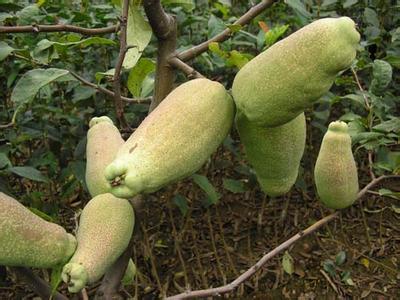 长阳皱皮木瓜