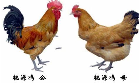 桃源大种鸡