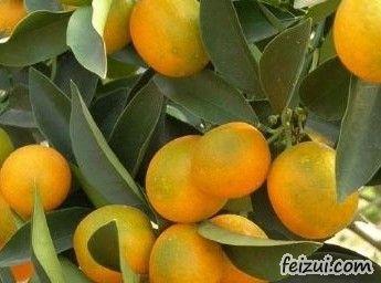 天岩寨柑桔