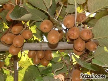 湘西猕猴桃