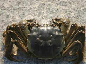 白泥湖大闸蟹