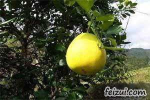 慈利金香柚