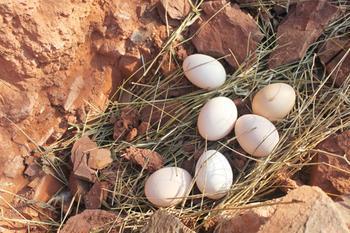 乡月草鸡蛋