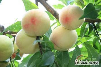 张家港凤凰水蜜桃