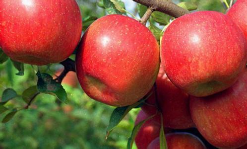 大沙河红富士苹果