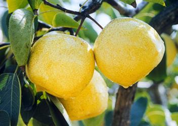 丰县白酥梨