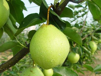麋鹿早酥梨