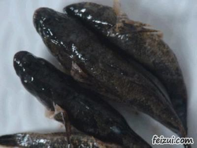 响水四鳃鲈鱼