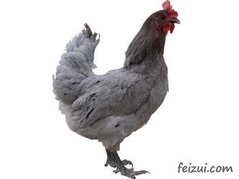 安义瓦灰鸡