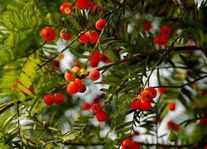 铜鼓红豆杉