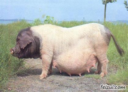上高蒙山猪