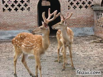 东辽梅花鹿